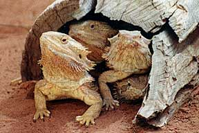 Alice Springs Reptile Centre - New South Wales Tourism